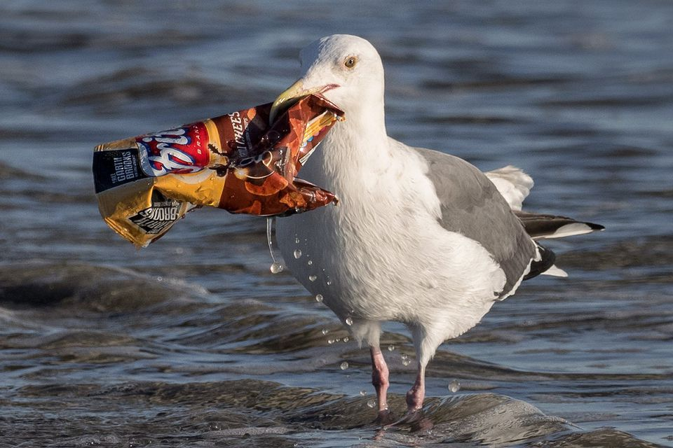 seagull with litter